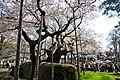 Ishiwari-zakura (4573650095).jpg