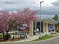 Its cherry blossom time at Loosing Hill bus station (geograph 5766581).jpg