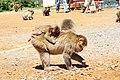 Iwatayama Monkey Park (3812546921).jpg