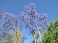 Jacarandas en el Jardín de San Marcos, Aguascalientes 02.JPG