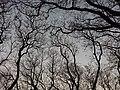 Jacarandas sin hojas en invierno.jpg