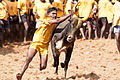 Jallikattu- A Tamil brave sport which is been playing over many years.jpg