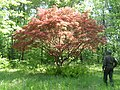 Japanese Maple 064 (Garry).jpg