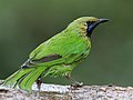 Jerdon's Leafbird, Bengaluru, Vimal Rajyaguru, 01.jpg