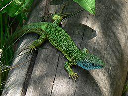 Ještěrka zelená (Lacerta viridis), Pálava