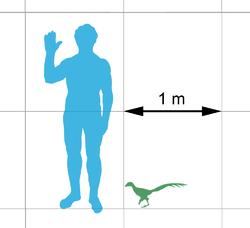 Porównanie rozmiarów człowieka i Jinfengopteryx z linii Troodontidae