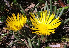 Jordaaniella dubia - succulent groundcover - South Africa.JPG