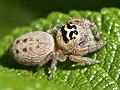 Jumping Spider (Salticidae) (38950423235).jpg