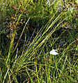 Juncus acutiflorus leaves.jpg