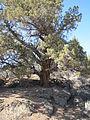Juniperus occidentalis near Bend, Oregon (BLM).jpg