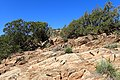 Juniperus oxycedrus kz23 (Morocco).jpg