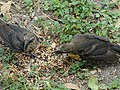 Juvenile Great-Tailed Grackles squawking for food 2.jpg