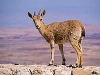 Juvenile Nubian ibex in Mitzpe Ramon (40409).jpg