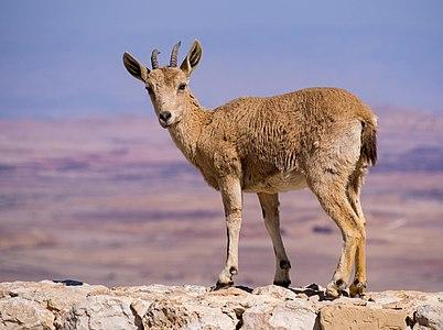 Juvenile Nubian ibex in Mitzpe Ramon