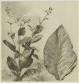 KITLV - 26868 - Kleingrothe, C.J. - Medan - Tobacco plant and tobacco leaf, Deli - circa 1905.tif