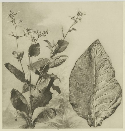 Tobacco plant and tobacco leaf from the Deli plantations in Sumatra, 1905 KITLV - 26868 - Kleingrothe, C.J. - Medan - Tobacco plant and tobacco leaf, Deli - circa 1905.tif
