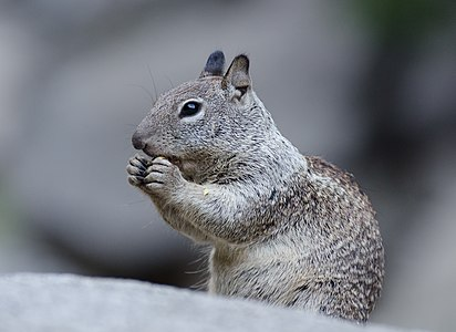 California Ground Squirrel (Otospermophilus beecheyi) photographed in Yosemite National Park