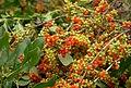 Karamu berries used to feed kakapo chicks (8528307181).jpg