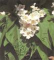 Katalpa lule.tif