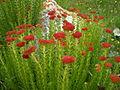 Khltiri Flower.JPG
