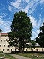 Klagenfurt - Mammutbaum im Landhauspark.jpg