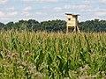 Kleinbeeren - Maisfeld (Maize Field) - geo.hlipp.de - 41170.jpg