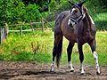 Koń na łące w Borsku.jpg