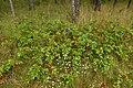 Korina 2014-08-29 Mahonia aquifolium.jpg