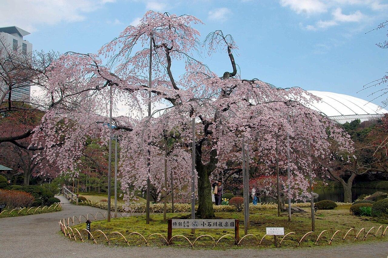Koshikawa Kourakuen Sakura.JPG