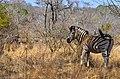 Krůgerův park - zebry - panoramio.jpg