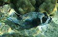 Kugelfisch; Arothron diadematus; Masked puffer..DSCF3508WI.jpg
