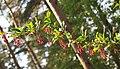 Kukerpuu Aruküla männikus.jpg
