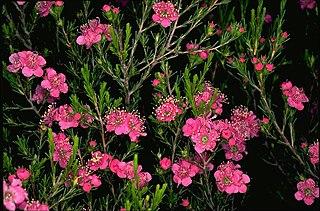 <i>Kunzea pauciflora</i> Species of flowering plant