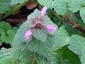 Lamium purpureum 109391610.jpg