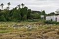 Langkawi Malaysia Rice-Paddy-09.jpg