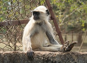 Flora and fauna of Odisha - A langur