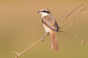 Brown shrike - In Thailand