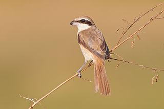 Brown shrike Species of bird