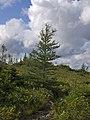 Larch on Mont Olivine PN de la Gaspesie.jpg