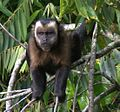 Large-headed Capuchin - Sapajus macrocephalus.jpg