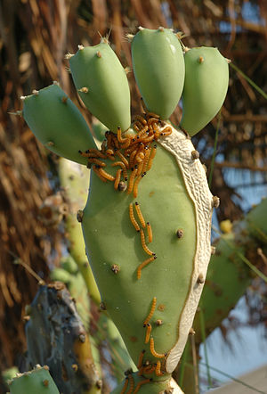 Biological pest control - Cactoblastis cactorum larvae feeding on Opuntia prickly pear cacti