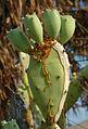 Larvaefeedingoncacti.jpg