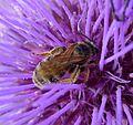 Lassioglossum species - Flickr - gailhampshire.jpg