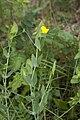 Lathyrus aphaca chezy-sur-marne 02 12052007 1.jpg