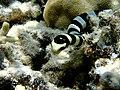 Laticaudidae (11006732404).jpg