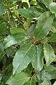 Laurus nobilis kz6.jpg