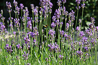 Lavendel 2.jpg