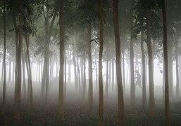Lawachara Forest.jpg