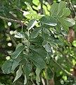 Leaves I IMG 8996.jpg