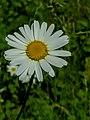 Leidschendam - Leucanthemum.jpg